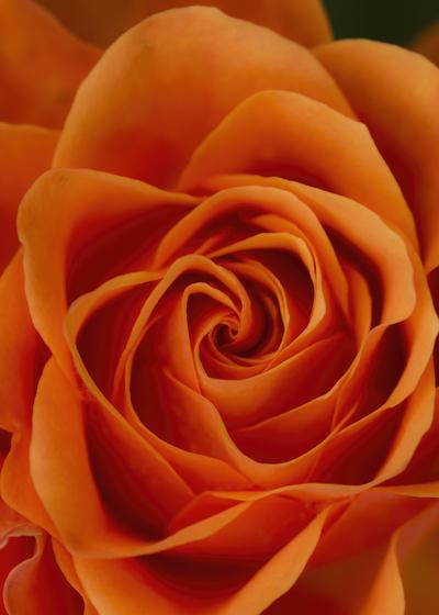 mpj-orange-rose-detail-jpg