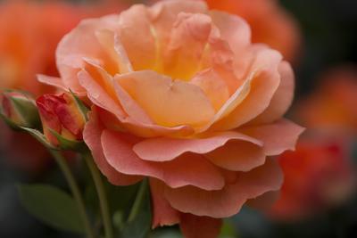mpj-orange-rose-garden-jpg