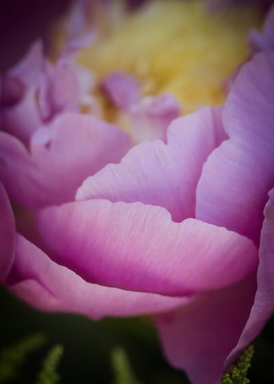 mpj-pink-peony-garden-jpg