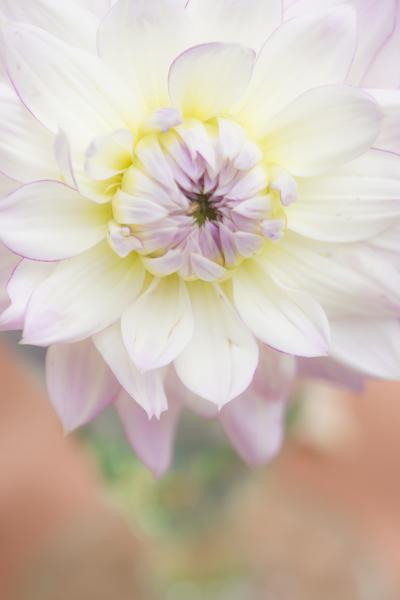 mpj-white-dahlia-birthday-jpg