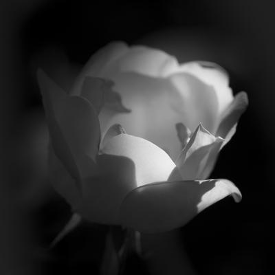 mpj-white-rose-bw-jpg