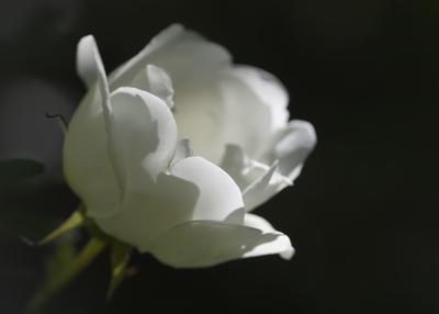 mpj-white-rose-garden-jpg