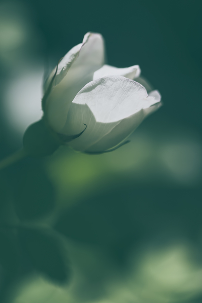 mpj-white-rose-greenery-jpg