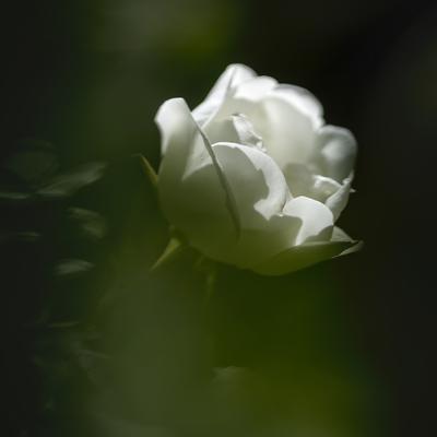 mpj-white-rose-sq-green-garden-jpg