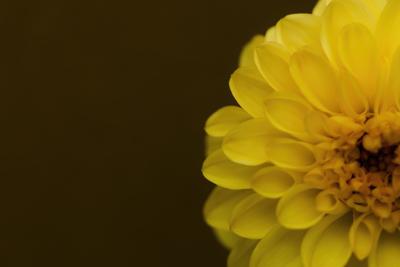 mpj-yellow-dahlia-half-jpg