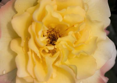 mpj-yellow-rose-jpg