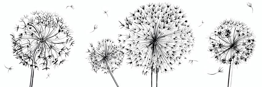 estelle corke allium seedheads black and white decorative flowers.jpg