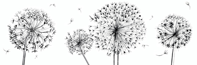 estelle-corke-allium-seedheads-black-and-white-decorative-flowers-jpg