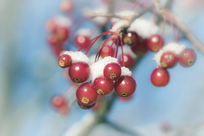 red-berries-blue-sky-snow-jpg