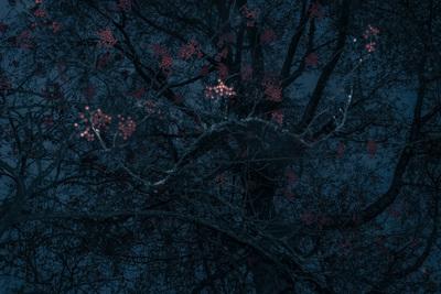 red-berries-blue-tree-1-jpg