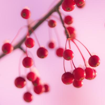 red-berries-in-pink1-jpg