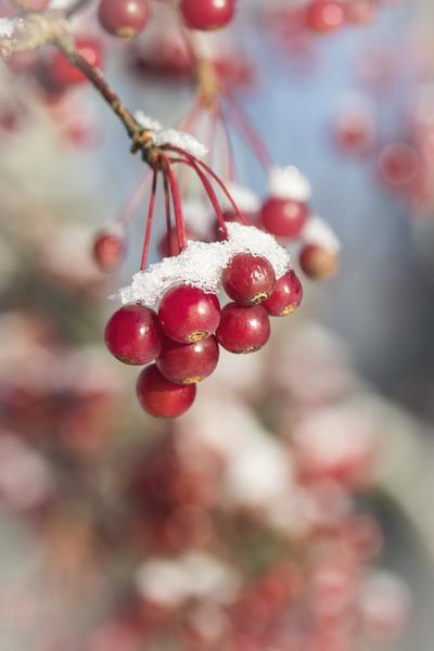 red-berries-snow-on-jpg