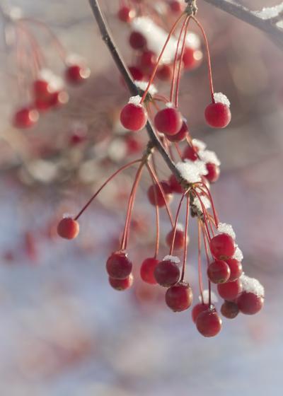 red-berries-snow-on-them-1-jpg