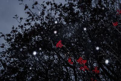 snowing-red-berries-1-jpg