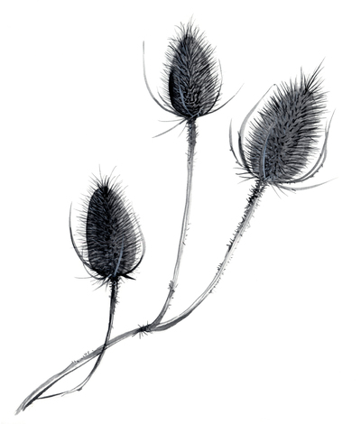 estelle-corke-teasels-seedheads-black-and-white-floral-jpg