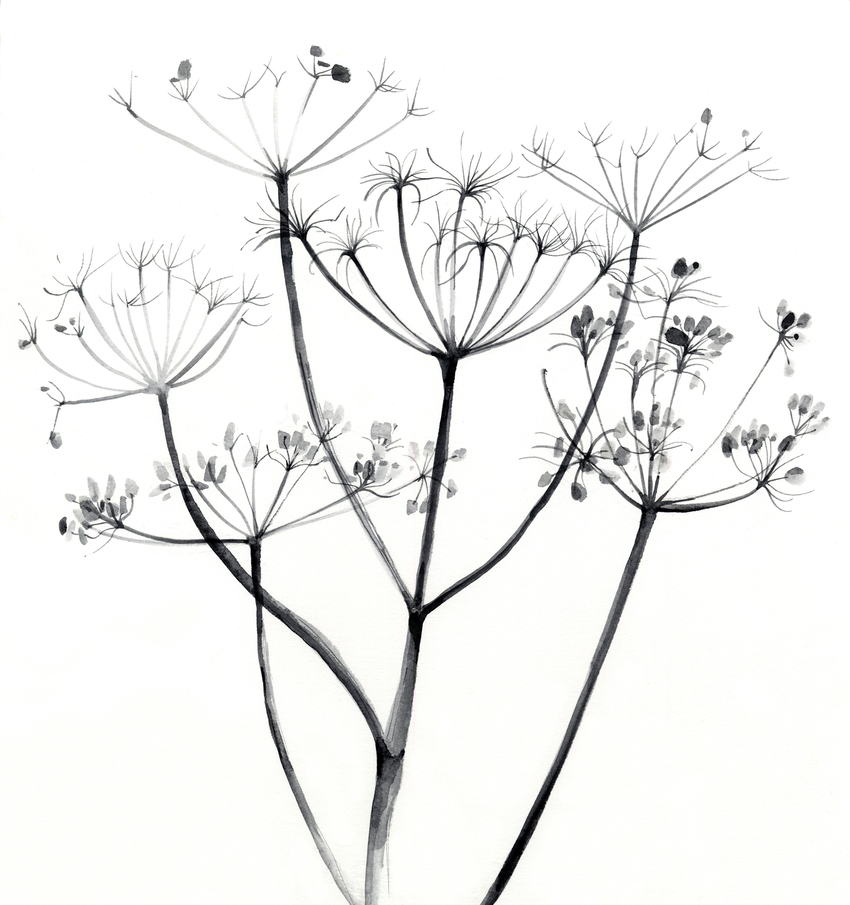 estelle corke cow parsley seedheads black and white floral.jpg