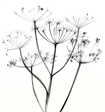 estelle-corke-cow-parsley-seedheads-black-and-white-floral-jpg
