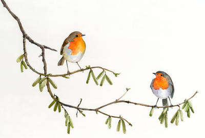 e-corke-robins-birds-christmas-winter-cute-jpg
