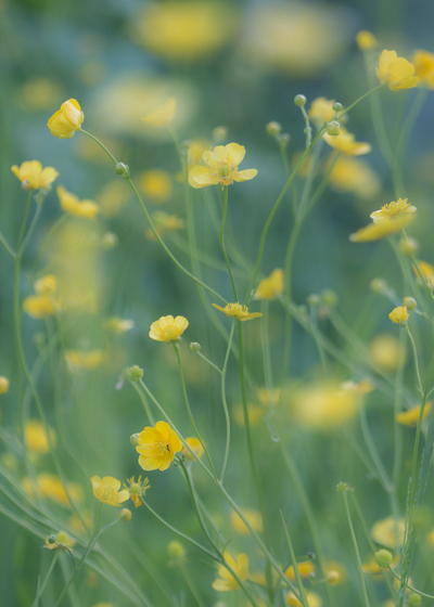 mp-yellowmeadow1-jpg