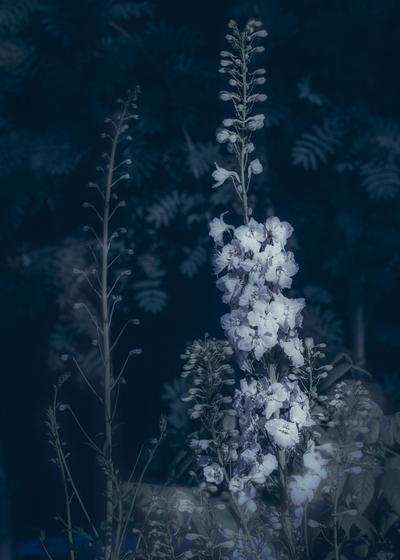 mpsyanotypeflowers-jpg