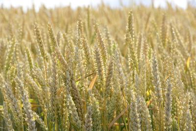 ears-of-wheat-jpg