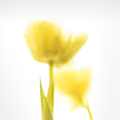 mp-two-tulip-yellow-jpg
