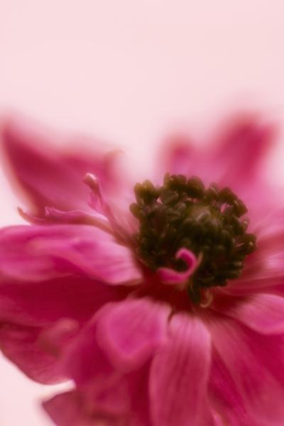 mpj-anemone-soft-red-jpg