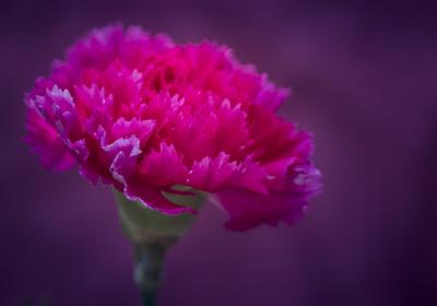 mpj-dramatique-red-carnation-jpg