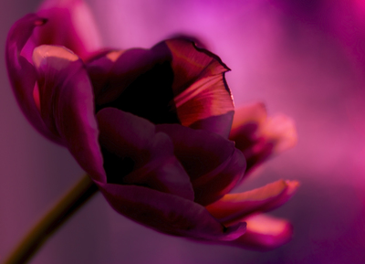 mpj-dramatique-red-tulip-jpg