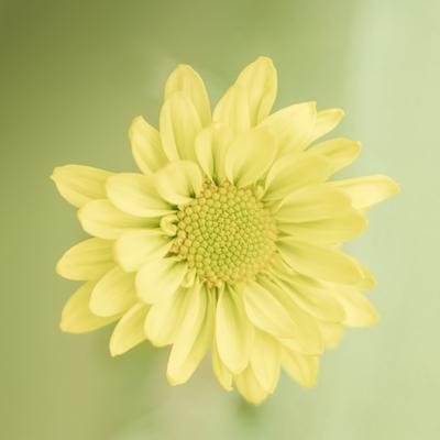 mpj-light-yellow-flower-jpg-1