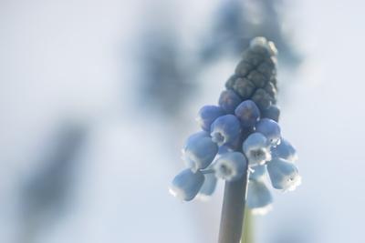 mpj-lightblue-muscari-jpg