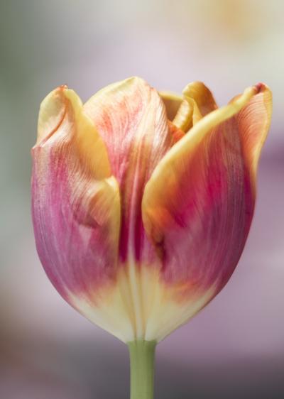 mpj-multicolour-tulip-jpg