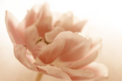 mpj-one-monochrome-tulip-jpg