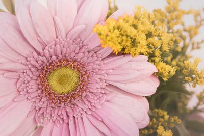 mpj-pink-pastel-gerbera-jpg