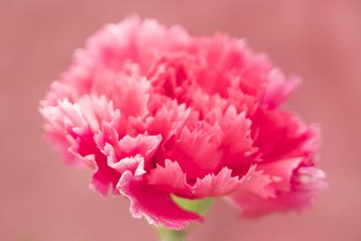mpj-red-carnation-jpg