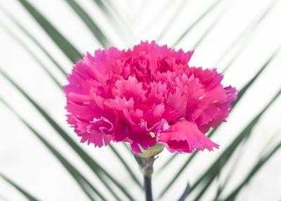 mpj-red-carnation-green-leaf-jpg
