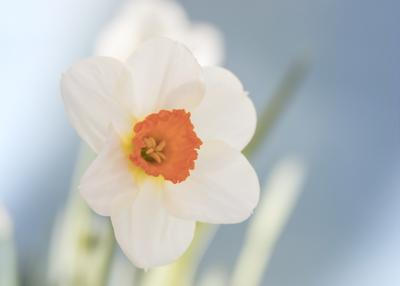 mpj-romantic-daffodill-jpg
