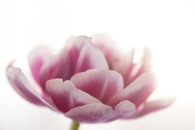 mpj-two-coloured-tulip-1-jpg