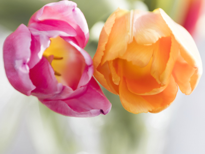 mpj-two-colourful-tulips-1-jpg