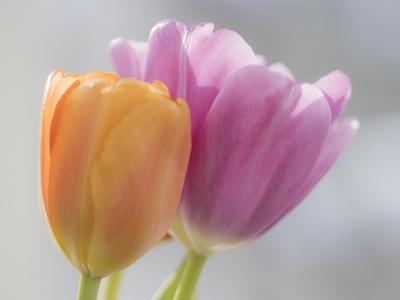 mpj-two-tulips-2-jpg