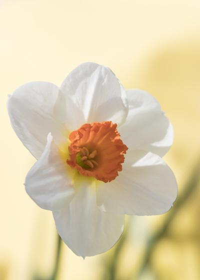 mpj-white-daffodil-jpg
