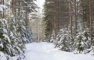 mpj-winter-snow-forest-jpg