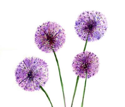 e-corke-alliums-flowers-wall-art-greetings-jpg
