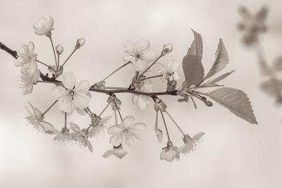 mpj-cherry-blossom-oldstyle-jpg