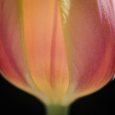 mpj-colourful-tulip-jpg