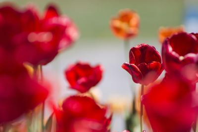 mpj-colourful-tulip-field-2-jpg