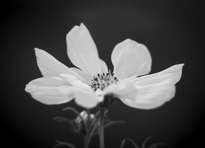 mpj-cosmos-flower-bw-jpg