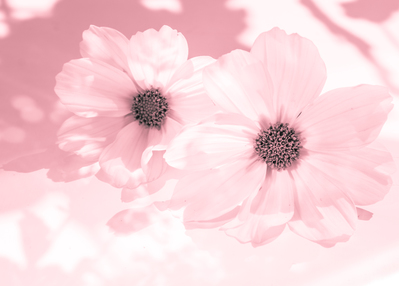 mpj-cosmos-flowers-1-jpg