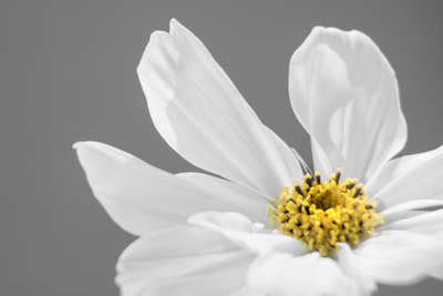 mpj-dahlia-white-grey-jpg