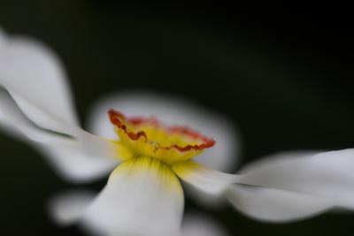 mpj-dancing-daffodil-1-jpg